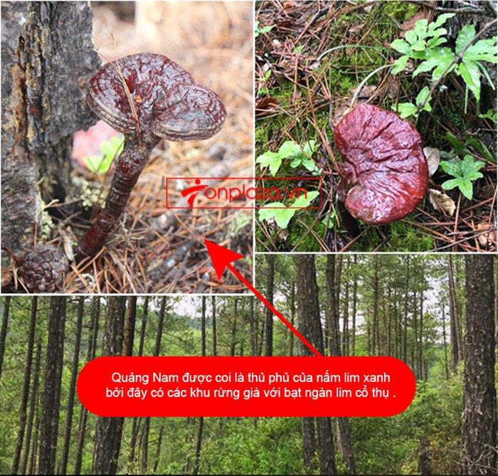 Nấm lim xanh rừng tự nhiên Quảng Nam tai nhỏ hộp 0.5kg L310 11